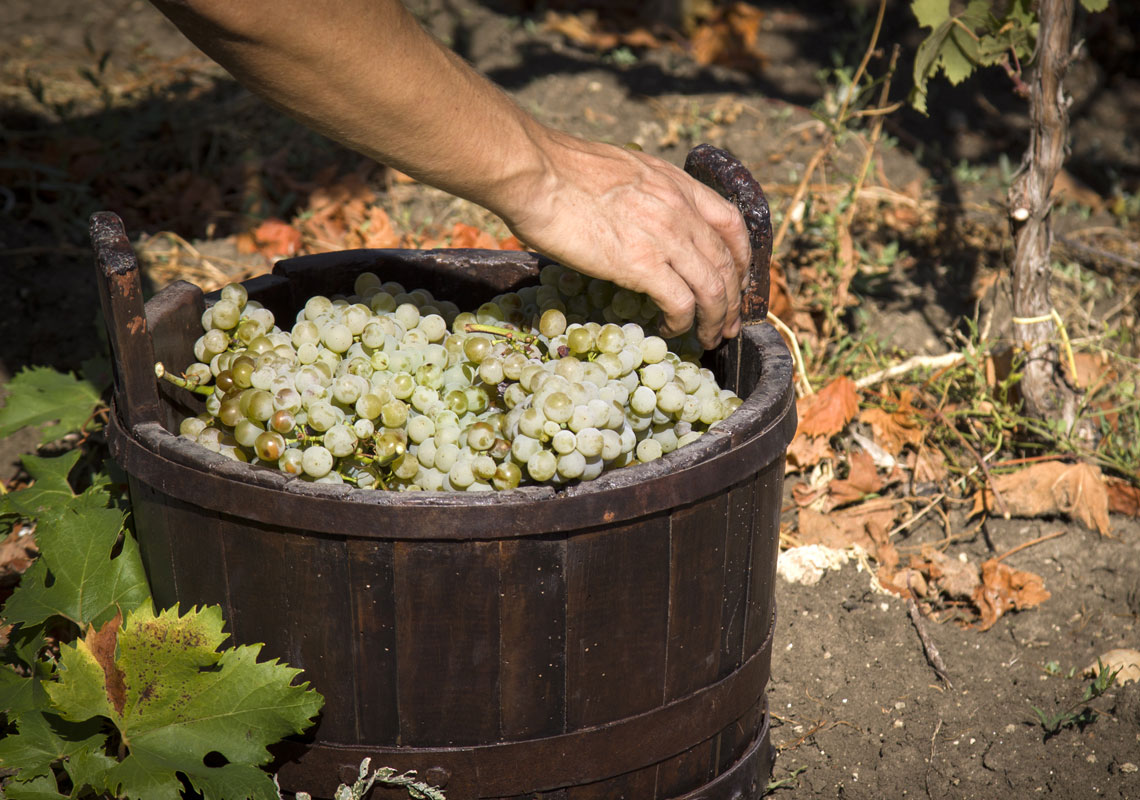 Uva-bianca-Chardonnay