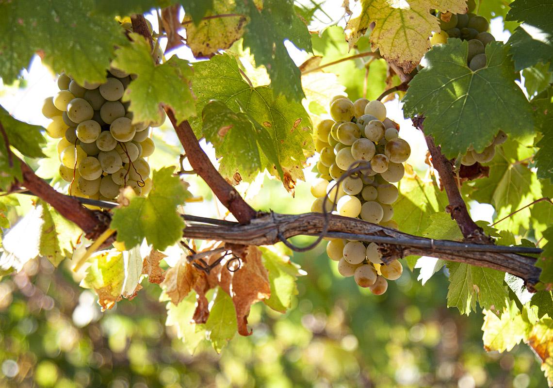 uva-bianca-Malvasia-Puglia
